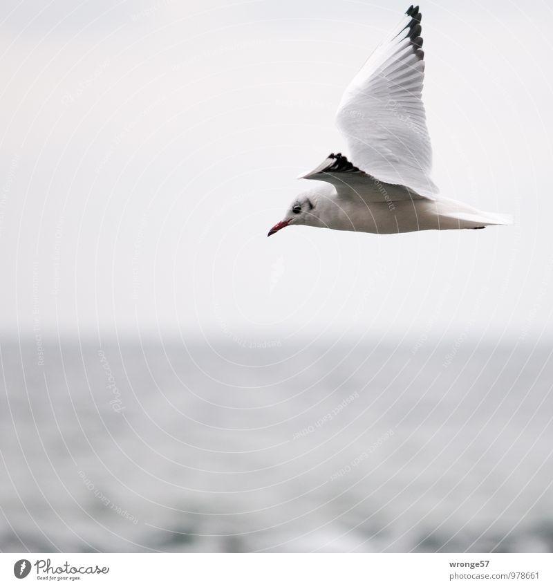 Von rechts nach links Natur Tier Himmel Horizont Wildtier Vogel Möwe 1 fliegen Unendlichkeit maritim grau Meer Ostsee Flügel Farbfoto Gedeckte Farben