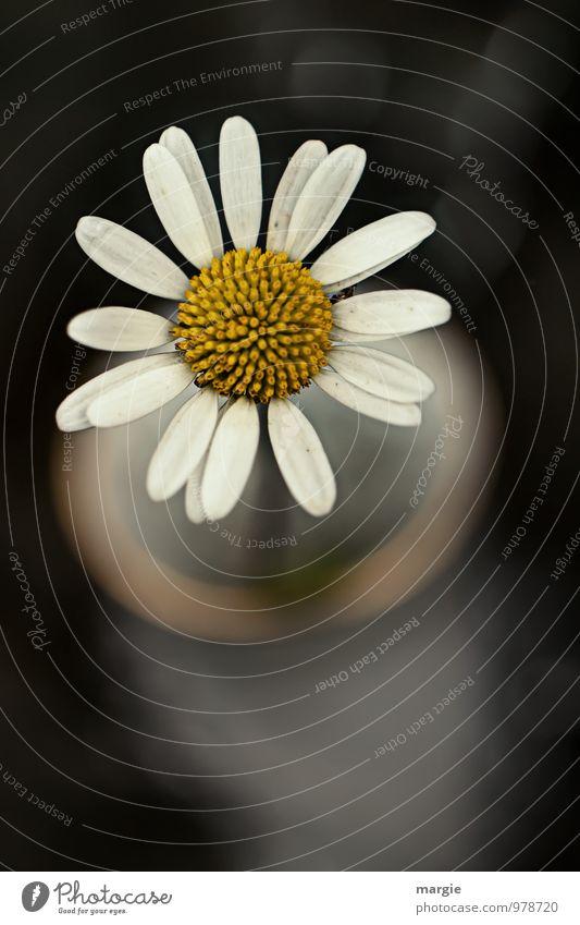 Margerite in einer Vase Umwelt Natur Pflanze Tier Blume Blatt Blüte Grünpflanze Topfpflanze Blütenblatt Blütenstempel Stengel Wachstum ästhetisch