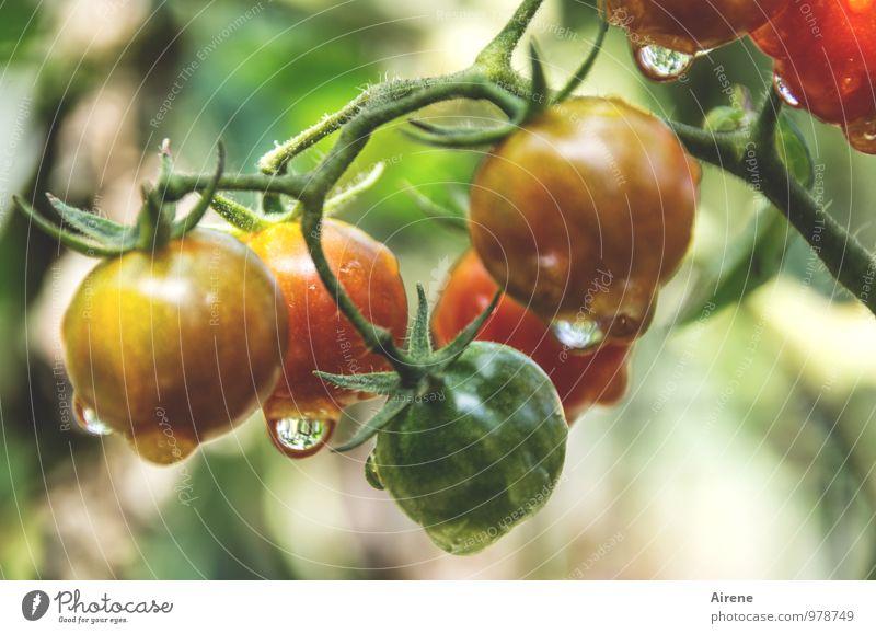 unreife Tomaten Lebensmittel Gemüse Salat Salatbeilage Vegetarische Ernährung Italienische Küche Pflanze Nutzpflanze Essen frisch Gesundheit gelb grün rot Natur