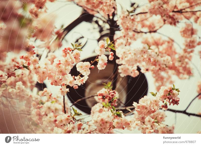 Kirschbüten sind schön! Natur Pflanze Frühling Schönes Wetter Baum Kirsche Japanische Blütenkirsche Blütenblatt Blütenpflanze ästhetisch Duft zart sanft rosa