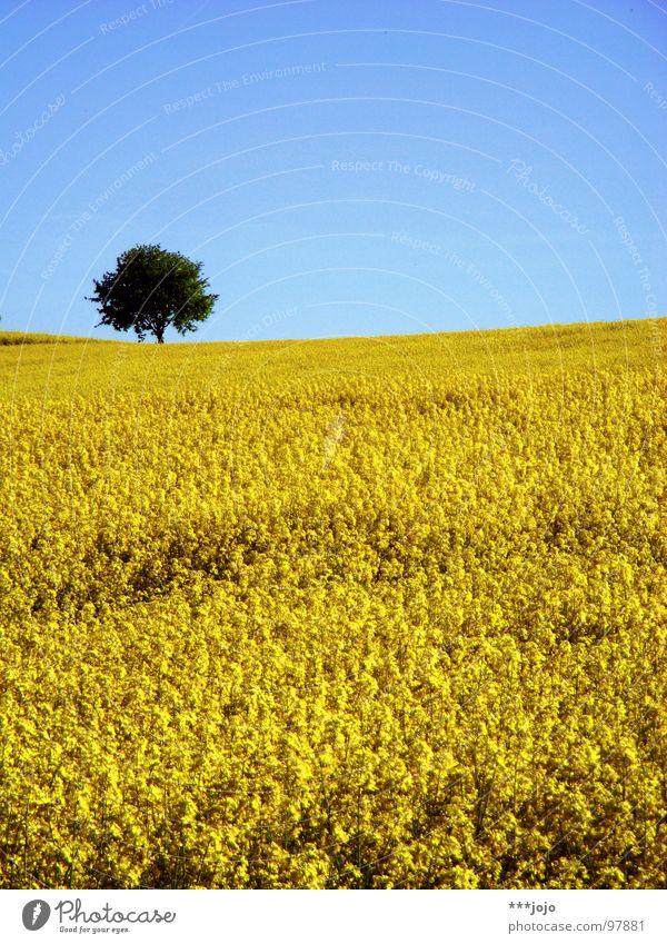 die gelbe gefahr schlägt zurück Raps Pflanze Frühling Feld Rapsfeld Landwirtschaft Honig Biene Blüte Blume ökologisch Mai Baum Erdöl blau Amerika Himmel