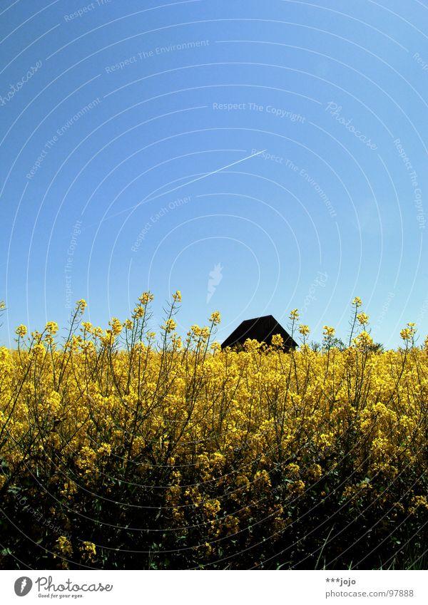 für jonas. Raps Pflanze gelb Frühling Feld Rapsfeld Landwirtschaft Honig Biene Blüte Blume ökologisch Mai Baum Erdöl blau Amerika Himmel Schönes Wetter Blühend