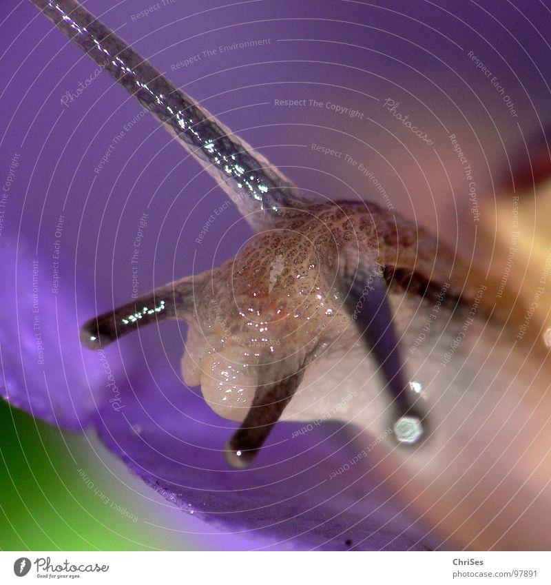 Gartenbänderschnecke (Cepaea hortensis) grün blau Auge Tier braun feucht Ekel Glätte Schnecke krabbeln Fühler Blume Glockenblume langsam schleimig Schneckenhaus