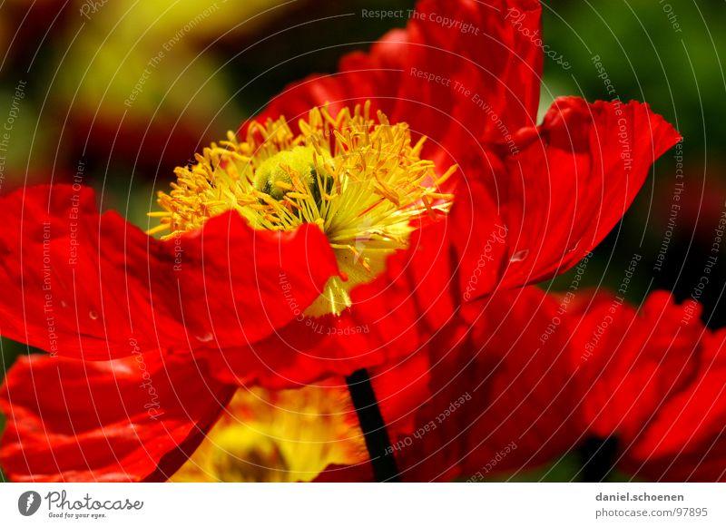 feuerrot grün Frühling Sommer Blume Blüte Hintergrundbild grasgrün Tiefenschärfe Wiese Klatschmohn Gras Umwelt Makroaufnahme Nahaufnahme Natur Weide