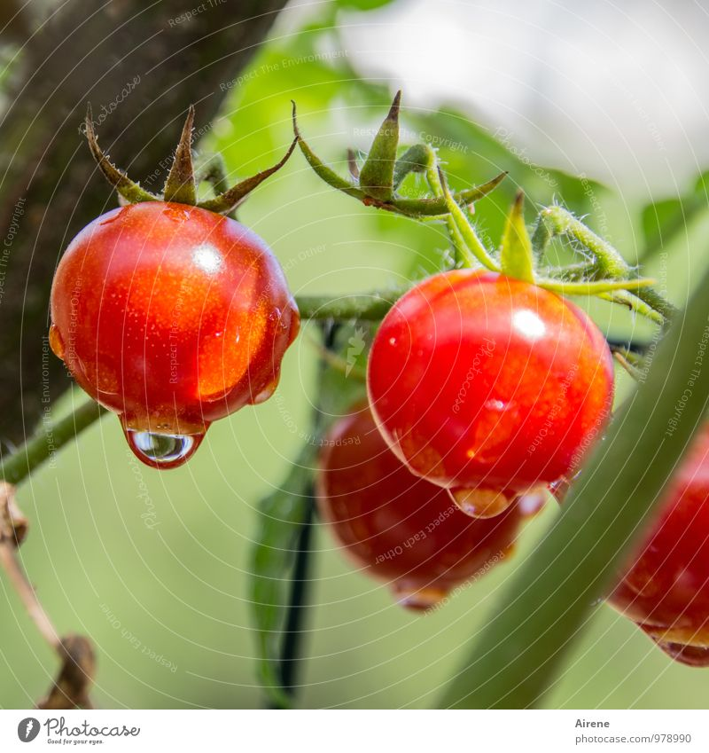 reife Tomaten Natur Pflanze grün Sommer rot Gesundheit Lebensmittel Wachstum frisch Ernährung genießen Lebensfreude Gemüse fest Salat