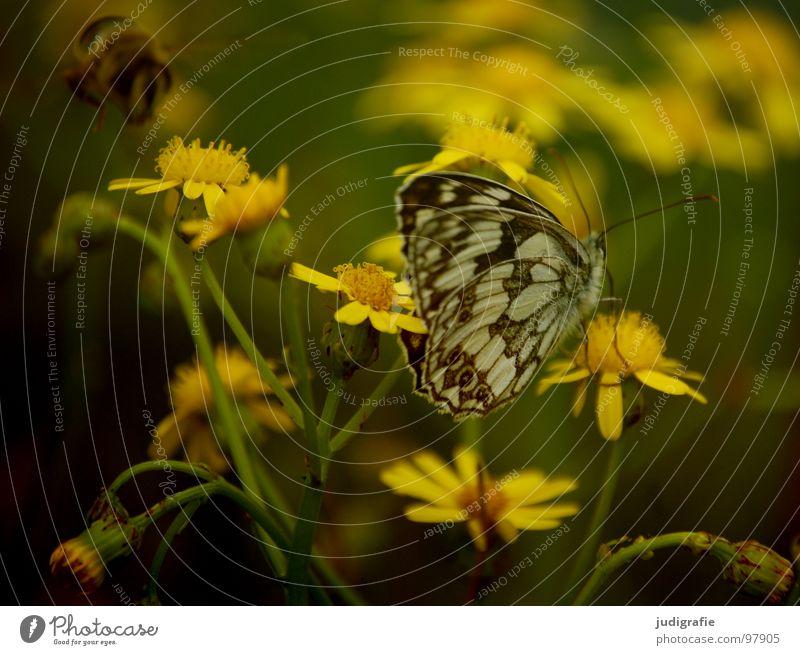Märchenwaldwiese Schmetterling Fluginsekt Insekt Biene Heide Blüte Blume Pflanze Stengel gelb grün braun schwarz Sommer Umwelt Wachstum gedeihen Wiese schön