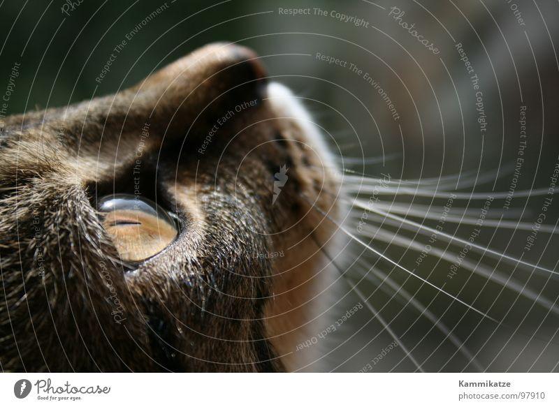 Kater Mauser Katze Schnurrhaar Haustier Schnauze Fell Säugetier Hauskatze Katzenauge Detailaufnahme getigert