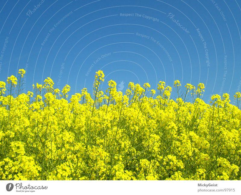 Raps Feld Blüte gelb Wiese Natur Himmel blau