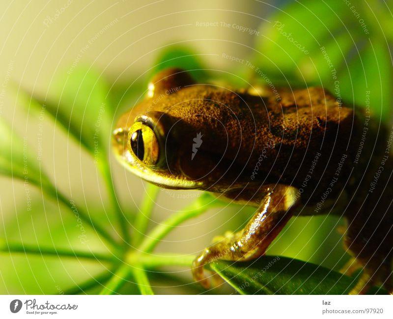 Weitblick Wasserfrosch Tier Zoologie springen Kaulquappe grün braun Pflanze Küssen hüpfen Farbe Muster beige Frühling Bach Fragen feucht knotig Teich Sumpf