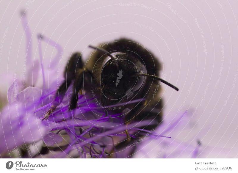 Hummel Insekt Blüte Wiese Blume violett schwarz Sommer Frühling Farbe fliegen Auge sitzen