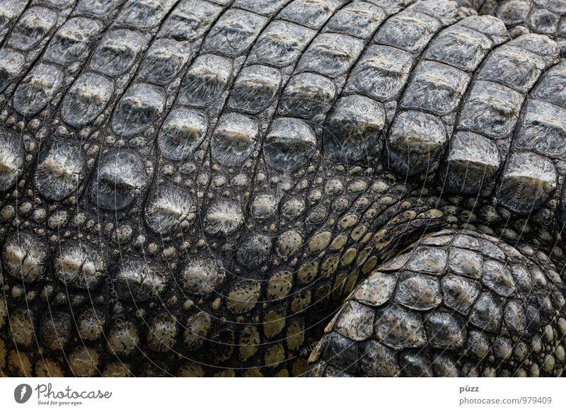Alligator Natur Tier Wildtier Schuppen Zoo Krokodil 1 Aggression bedrohlich exotisch stark wild grau grün Angst Respekt gefräßig Farbfoto Gedeckte Farben