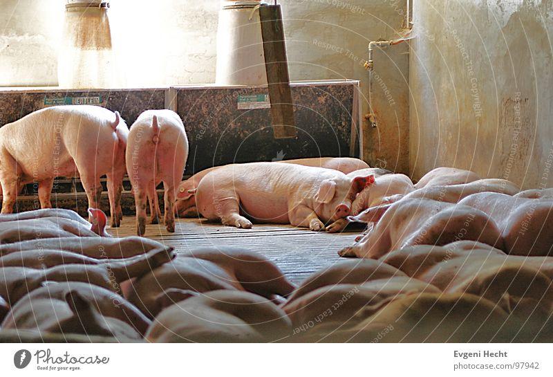 Schweine Stall Tier Raum schlafen Dorf Müdigkeit Hut Säugetier Haustier Nutztier Krieg Schlacht