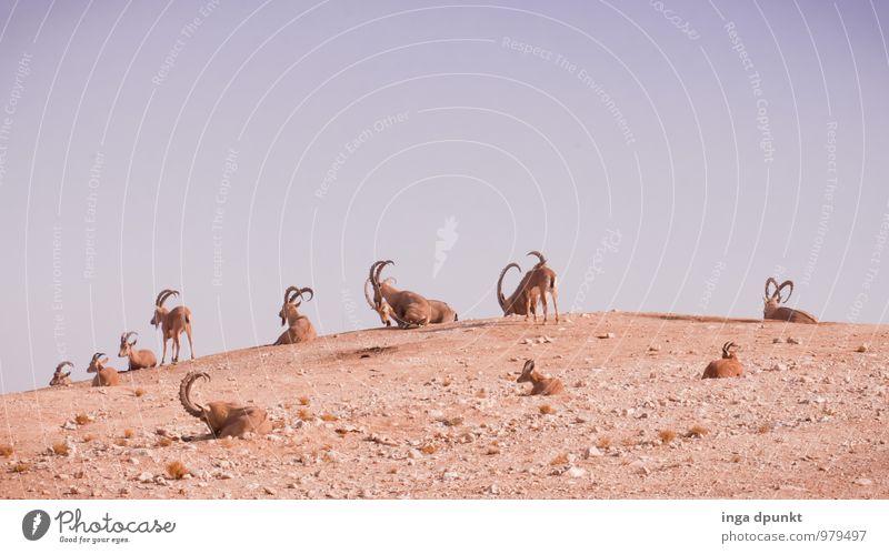 Familientreffen Umwelt Natur Landschaft Tier Urelemente Erde Sand Klimawandel Schönes Wetter Wüste Wildtier Steinbock Säugetier Paarhufer Tiergruppe Herde