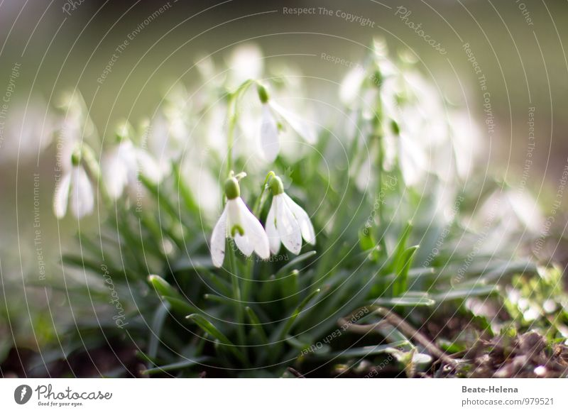 Frühlingszeichen Natur Pflanze grün weiß Blume Glück Garten braun Park Wetter Zufriedenheit Fröhlichkeit ästhetisch Beginn Lebensfreude