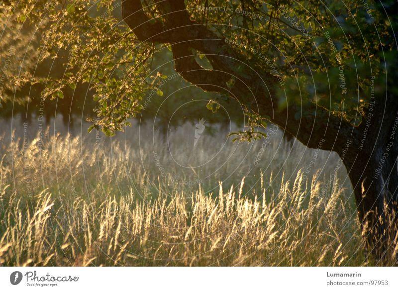 Abendsonne Erholung ruhig Sommer Natur Landschaft Schönes Wetter Wind Wärme Baum Gras Blatt Wiese Feld braun gelb grün Sonnenuntergang Halm wiegen Brise