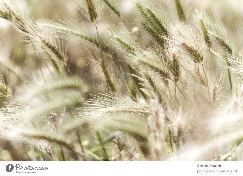 Grüne Ähren Natur Pflanze schön grün Sommer Landschaft Umwelt Frühling natürlich Glück Hintergrundbild Stimmung Lebensmittel Feld Wachstum ästhetisch