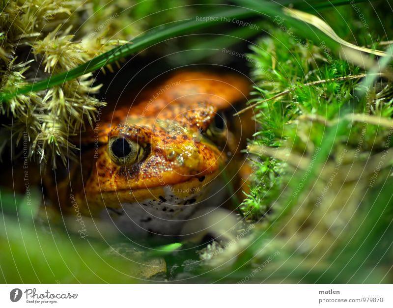 die rote Gefahr grün Tier Gras warten beobachten Moos Frosch