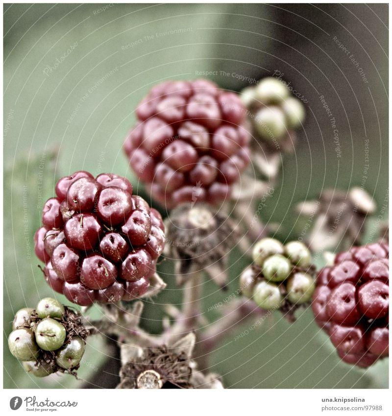 blackberry Frucht Kugel grün rot unreif Brombeeren Beeren Farbfoto Außenaufnahme Detailaufnahme
