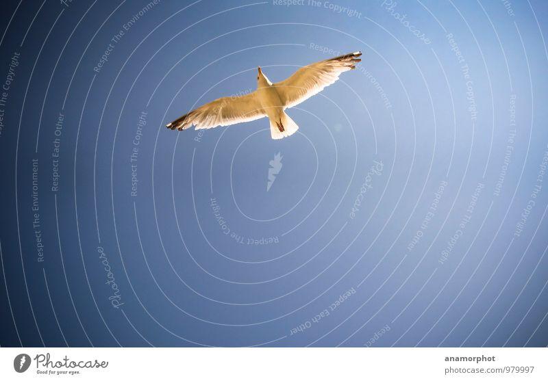 Möwe im Flug Natur Tier Himmel Wolkenloser Himmel Sonnenlicht Sommer Schönes Wetter Wind Meer Staint-Malo Vogel Flügel 1 blau Farbfoto Außenaufnahme