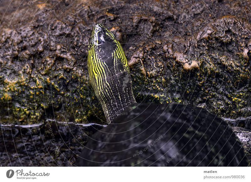 Mimikry Tier gelb grau Stein braun Tarnung Schildkröte Panzer