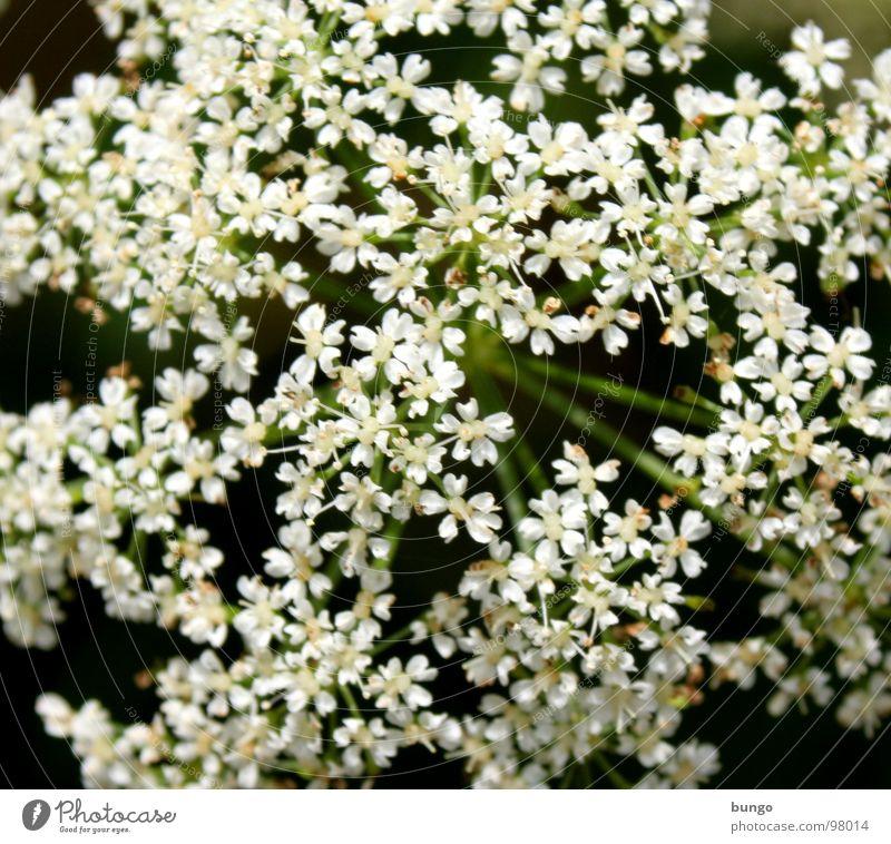 Blütenmeer schön weiß Blume Pflanze mehrere einzigartig Blumenstrauß viele gleich Vielfältig vielfach Doldenblüte häufig Doldenblütler
