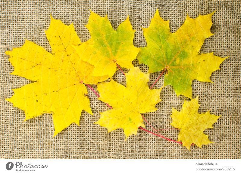 Herbstfarbene Ahornblätter Design schön Natur Pflanze Baum Blatt braun gelb rot Farbe Hintergrund Haufen Sackleinen Leinwand farbenfroh Dekor Gewebe fallen
