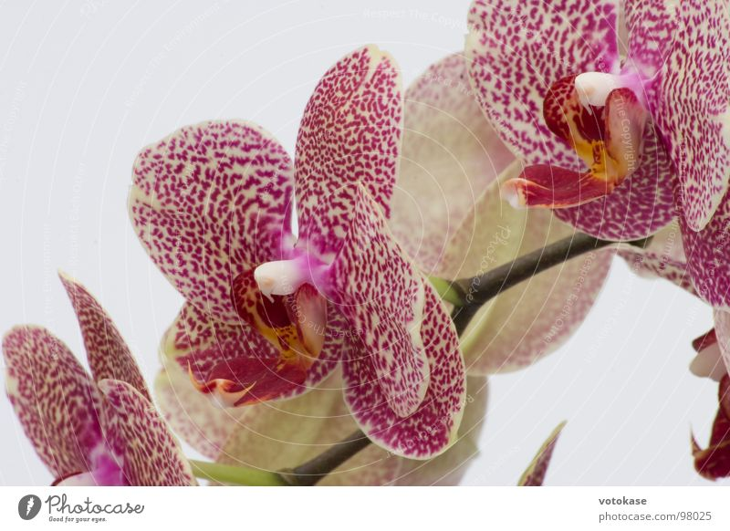 Orchidee Blüte Makroaufnahme Nahaufnahme schön lila-Orchidee rote-Orchidee