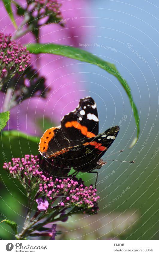 Metterschling auf Fommerslieder Natur Pflanze grün Sommer Tier schwarz Blüte rosa orange Sträucher Flügel Blühend Insekt Schmetterling Nektar Sommerflieder