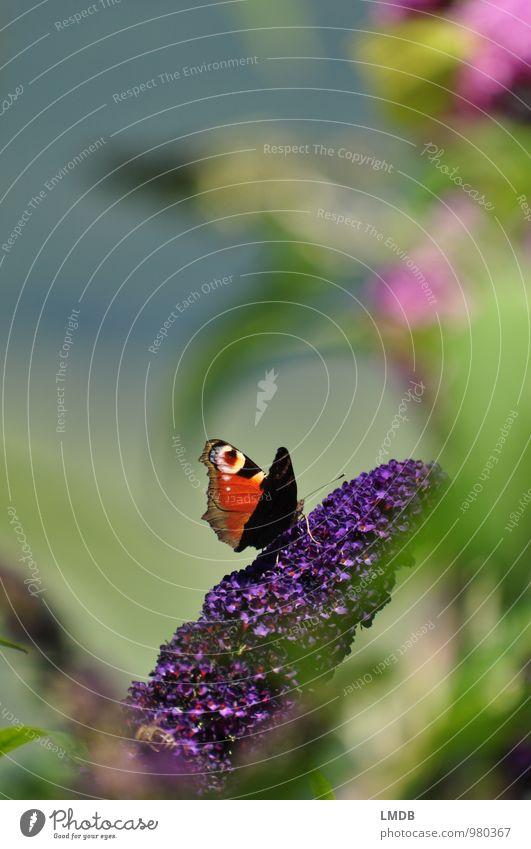 Schmetterling gut versteckt Natur Pflanze grün Sommer Tier Garten Sträucher Perspektive violett Insekt Schmetterling Nektar Fliederbusch Tagpfauenauge Sommerflieder