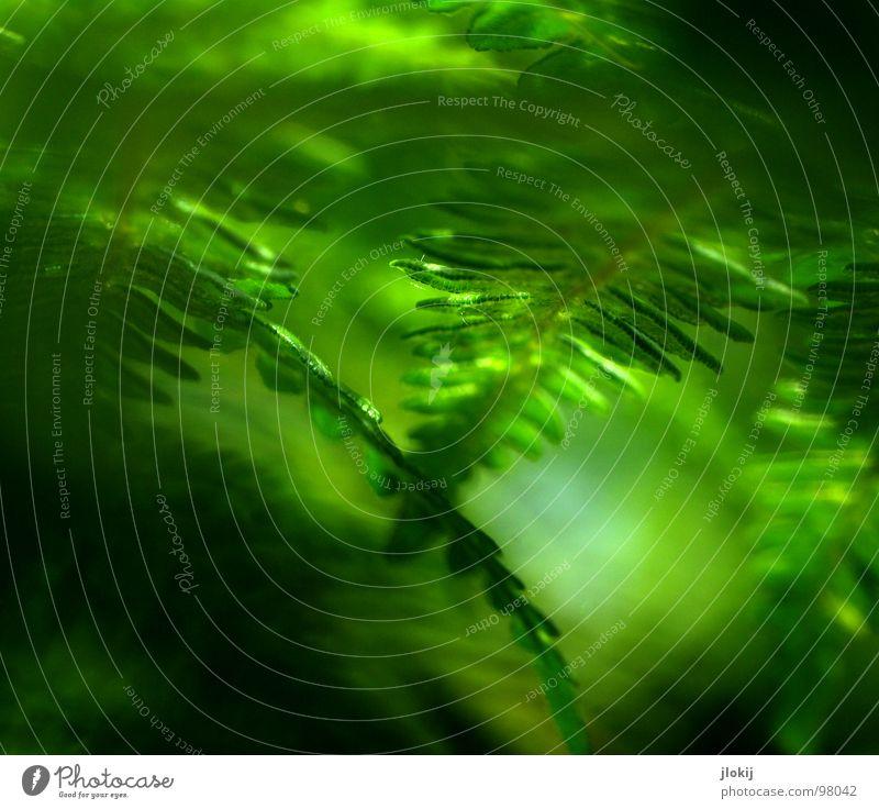 X2 Pflanze grün Schatten feucht dunkel Biologie Wachstum Echte Farne Sporen Frühling berühren zart weich Unschärfe Natur Wedel Hexenkraut sanft Kontrast