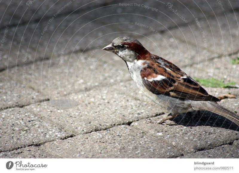 Sei gut zu Vögeln weiß Tier schwarz Straße grau Stein braun Vogel Spitze Metallfeder Appetit & Hunger frech füttern