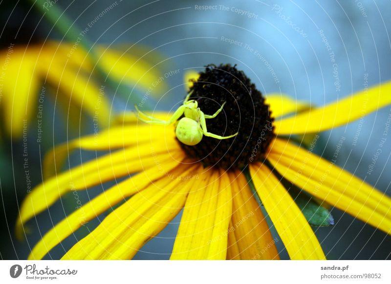 Gut getarnt... Spinne Blume Sommer gelb braun Anpassung Tarnung Blüte Spinnenbeine Makroaufnahme Nahaufnahme blau Beine