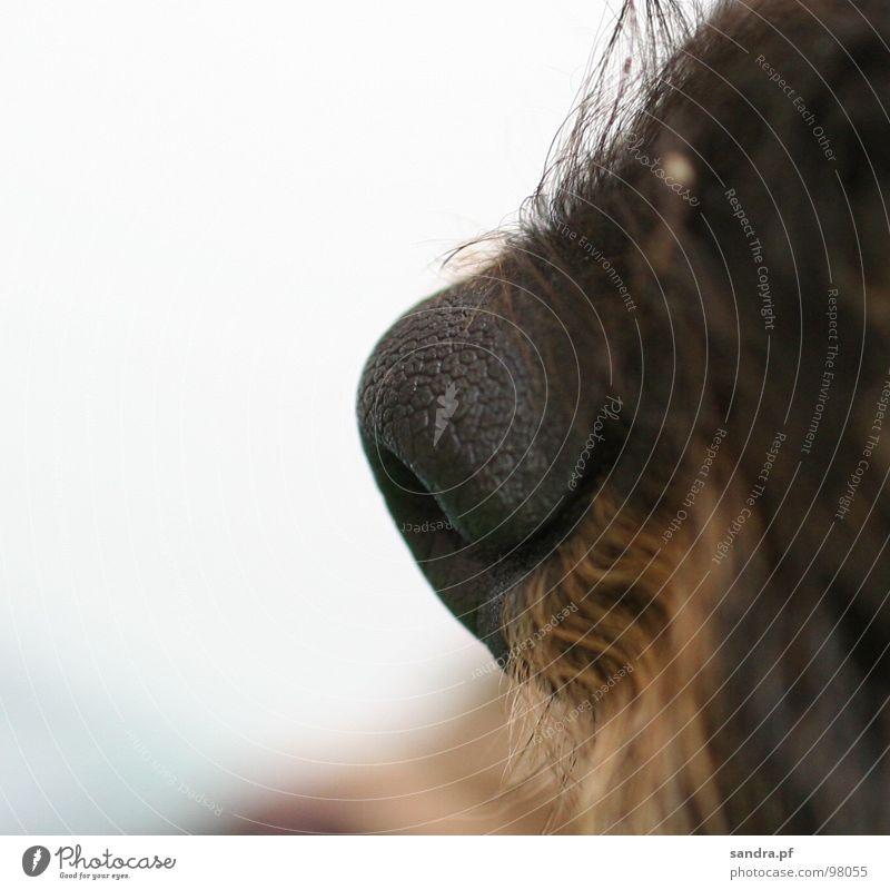*schnüff* Hund Bart schwarz braun atmen Dackel beige feucht nass Nasenloch Luft weiß Makroaufnahme Nahaufnahme Säugetier Dienstleistungsgewerbe Haare & Frisuren
