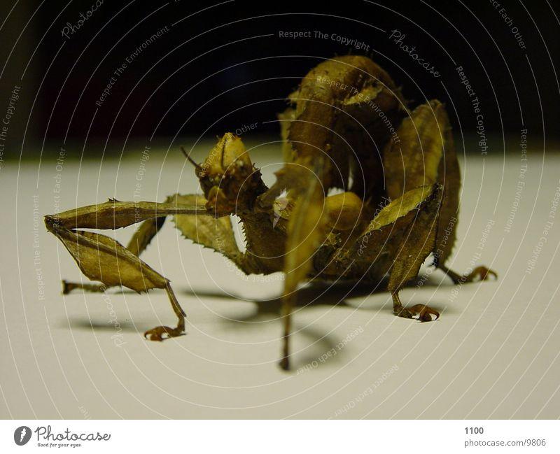 Gespensterschrecke Insekt Tier gespensterschrecke Schrecken