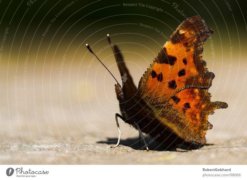 butterfly Natur Tier Leben Herbst braun orange Hintergrundbild sitzen Flügel Insekt Dresden Schmetterling Fleck Fühler Symmetrie C-Falter