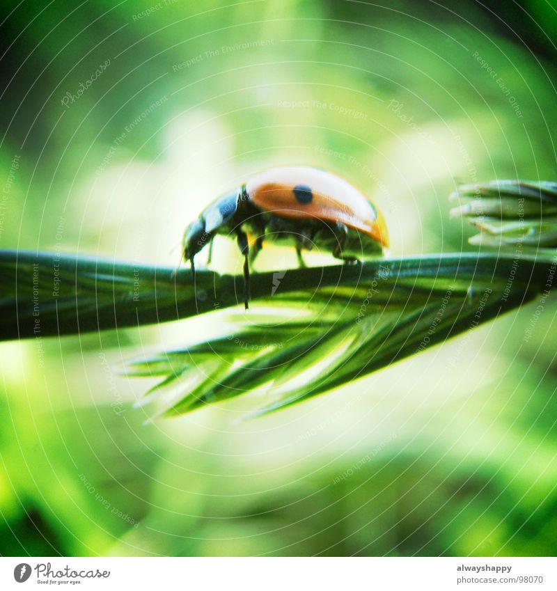 ich hasse tierfotos Sonne rot Sommer schwarz Glück Tier Punkt Mitte Quadrat Halm Marienkäfer Käfer krabbeln Schädlinge grasgrün