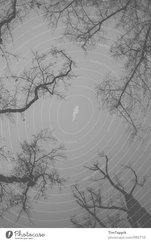 Night falls Himmel Baum dunkel Wald grau oben trist bedrohlich geheimnisvoll Baumstamm Baumkrone Zweige u. Äste himmelwärts unheilvoll Düsterwald