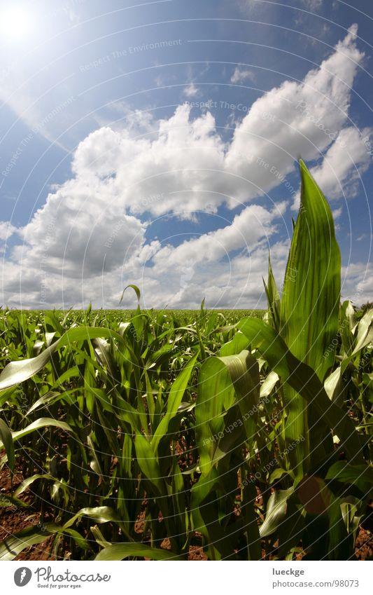 Heimische Yukapalmen-Plantage Himmel Sommer Wolken Feld Mais