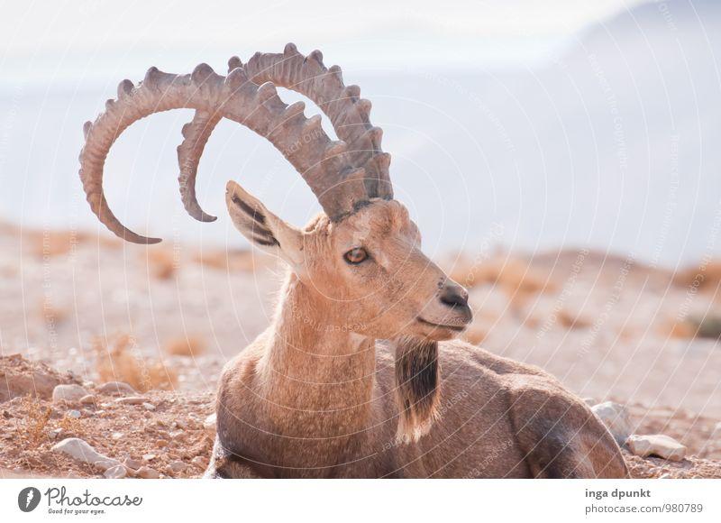 Was zu gucken Umwelt Natur Landschaft Tier Berge u. Gebirge Wüste Israel Negev Abenteuer Steinbock Horn Farbfoto Außenaufnahme Tag Schatten