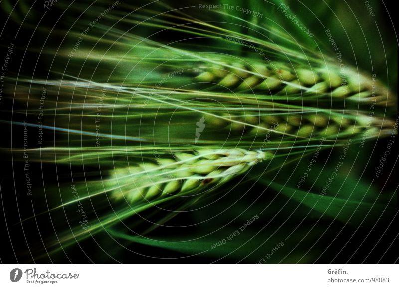 frühreifes Korn alt grün Pflanze Sommer Ernährung Feld Lebensmittel Wachstum Getreide Landwirtschaft reif Halm Korn Samen Nähgarn Weizen
