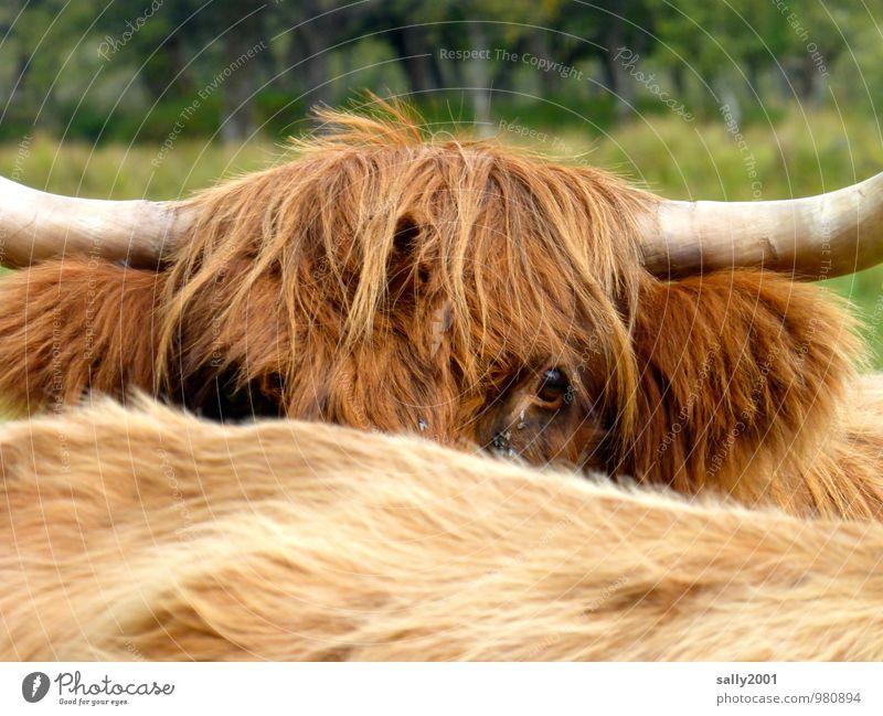 ich seh dich... Tier Nutztier Kuh Schottisches Hochlandrind 2 beobachten dreckig Freundlichkeit Neugier wild braun Coolness friedlich Wachsamkeit Interesse