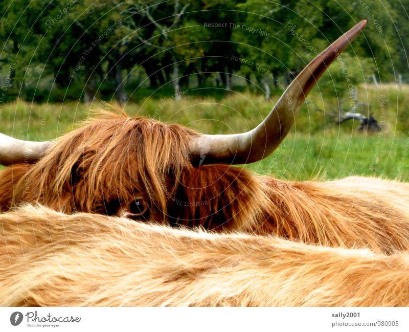 Blick ins neue Jahr... Wiese Tier Nutztier Kuh Schottisches Hochlandrind Horn Fell Auge 2 beobachten groß Neugier braun Überwachung verstecken Schüchternheit
