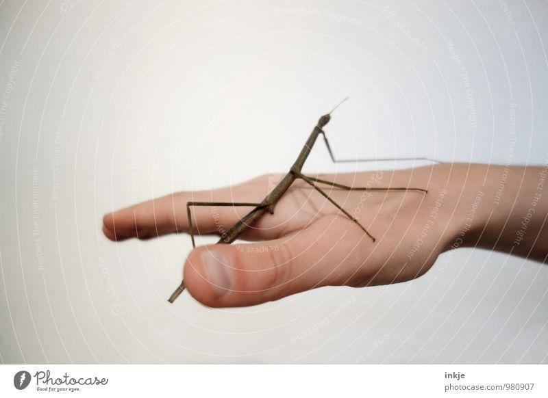 handzahm Hand 1 Mensch Tier Haustier Wildtier Insekt Heuschrecke stabheuschrecke hocken außergewöhnlich dünn authentisch nah Gefühle Vertrauen Tierliebe