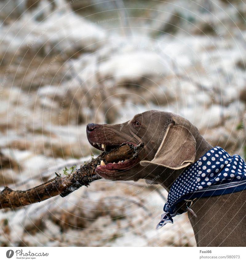 das ist mein Stöckchen... Umwelt Natur Winter Eis Frost Schnee Sträucher Wald Fell Halstuch Haustier Hund 1 Tier Holz Arbeit & Erwerbstätigkeit Fressen kämpfen