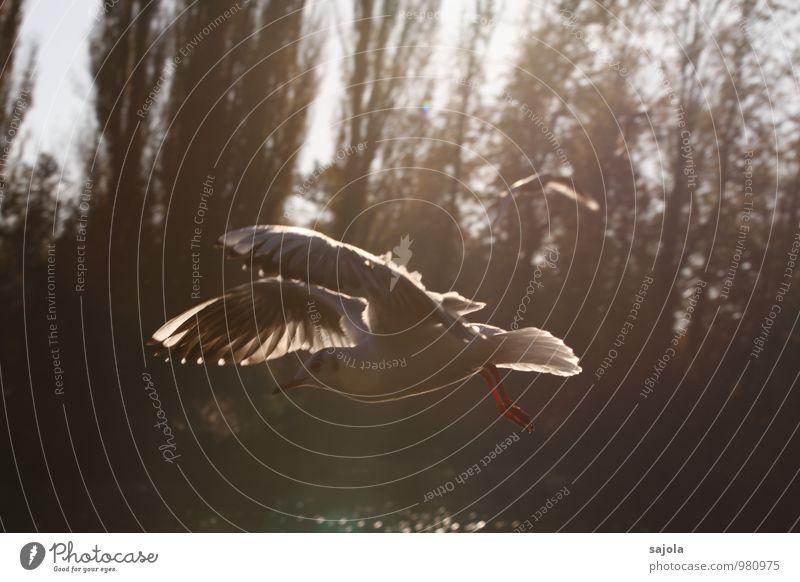möwe in warmes licht getaucht Umwelt Natur Tier Wildtier Vogel Möwe 1 fliegen ästhetisch Bewegung Freiheit Lichtspiel Flügel Außenaufnahme Menschenleer Morgen