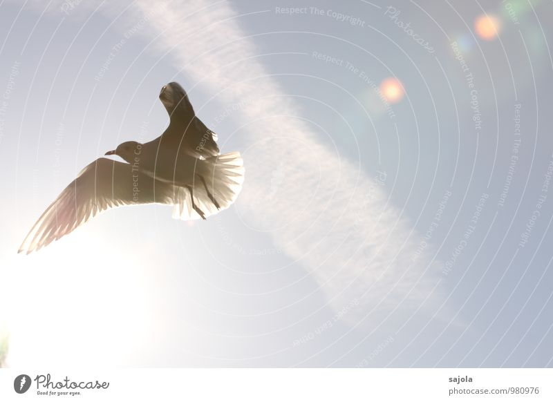 möwe im licht Tier Himmel Wolken Sonne Sonnenlicht Wildtier Vogel Möwe 1 fliegen blau weiß Freiheit durchleuchtet Flügel Farbfoto Außenaufnahme Menschenleer