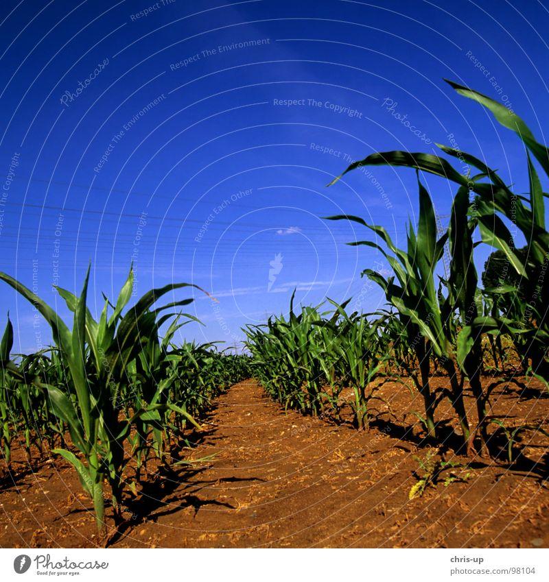 Mais für Biogas Himmel Natur blau grün Pflanze Ferne Ernährung Lebensmittel Erde Feld Ordnung Landwirtschaft Gemüse Reihe Ernte Korn