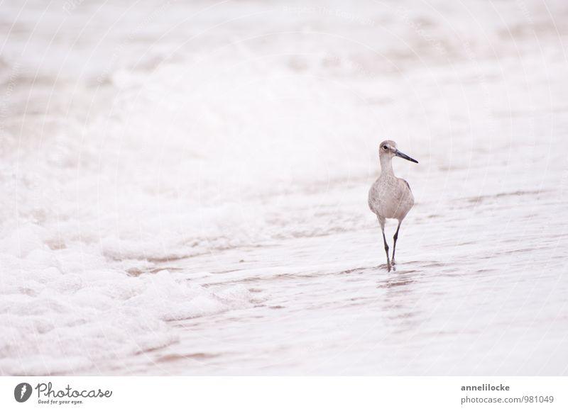 Strandspaziergang Natur Ferien & Urlaub & Reisen Wasser Sommer Meer Tier Strand Ferne Küste grau Freiheit Vogel Wellen Wildtier laufen Spaziergang