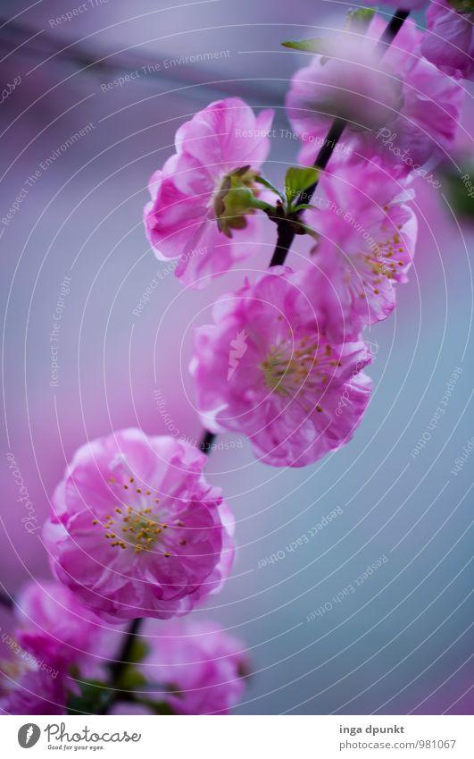Pfirsichblüte Umwelt Natur Pflanze Baum Blüte Pfirsichblüten Pfirsichbaum Rosengewächse Garten Park Blühend schön rosa Gefühle Stimmung Frühlingsgefühle