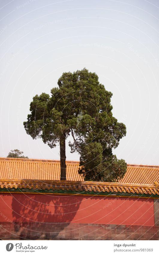 O Weihnachtsbaum.....! Umwelt Pflanze Baum China Verbotene Stadt Peking Hauptstadt Mauer Wand Sehenswürdigkeit Wachstum ästhetisch groß positiv Sauberkeit Kraft